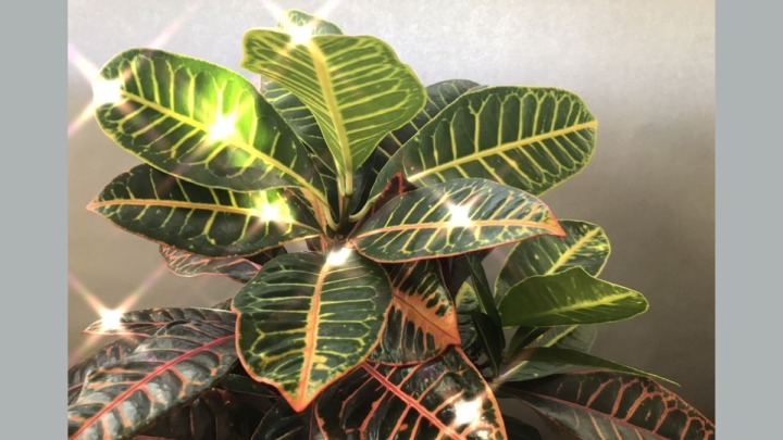 Croton Tropical Plant Care Indoors